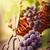 friss · piros · fehér · szőlő · vízcseppek · izolált - stock fotó © mythja