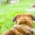 dog in grass stock photo © mythja