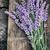 fresh lavender stock photo © mythja