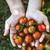 domates · hasat · yaz · sebze · bahçe · bahçıvan - stok fotoğraf © mythja