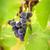 preto · uvas · isolado · branco · natureza · fruto - foto stock © mythja