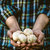 食用 · 新鮮な · キノコ · 手 · ヤマドリタケ属の食菌 · マクロ - ストックフォト © mythja