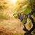 szőlőskert · ősz · aratás · természet · érett · szőlő - stock fotó © mythja