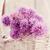 vers · bieslook · bloem · rustiek · voorjaar · zomer - stockfoto © mythja