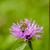 пчела · альпийский · луговой · фиолетовый · цветок - Сток-фото © nailiaschwarz