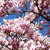 цветения · кустарник - Сток-фото © nailiaschwarz