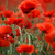 red poppy flowers stock photo © nailiaschwarz