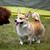 犬 · 動物 · ほ乳類 · 国内の · 純血 - ストックフォト © nailiaschwarz