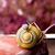 közelkép · citromsárga · fekete · csiga · hordoz · pici - stock fotó © nailiaschwarz