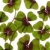 quatro · trevo · fresco · planta · grama - foto stock © nailiaschwarz