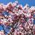 flowering magnolia tree stock photo © nailiaschwarz