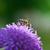 méh · alpesi · legelő · közelkép · ibolya · virág - stock fotó © nailiaschwarz