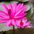 beautiful pink lotus flower in the lake stock photo © nalinratphi