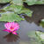 pink lotus blossoms with dew drops on pond stock photo © nalinratphi