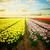 аккуратный · тюльпаны · красочный · цветы · Фермеры - Сток-фото © neirfy