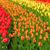 チューリップ · 花 · カラフル · 成長 · ピンク - ストックフォト © neirfy