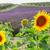 подсолнечника · Франция · природы · лет - Сток-фото © neirfy