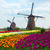 two dutch windmills over tulips field stock photo © neirfy