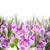 spring crocuses close up stock photo © neirfy