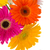 border of gerbera flowers stock photo © neirfy