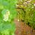 borászat · gyönyörű · sorok · szőlő · égbolt · fa - stock fotó © neirfy