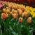 春の花 · オランダ · 庭園 · カラフル · 春 · 青 - ストックフォト © neirfy