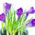 tavasz · ibolya · virágok · mező · virág · természet - stock fotó © neirfy