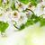 şube · beyaz · çiçekler · çiçek · bahar · yaprak - stok fotoğraf © neirfy