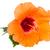 turuncu · ebegümeci · çiçek · beyaz · sonbahar - stok fotoğraf © neirfy