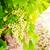branco · jacinto · campo · agrícola · flor - foto stock © neirfy