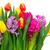 tulipas · rosa · azul · flores · jardim · bokeh - foto stock © neirfy