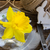 easter daffodil stock photo © neirfy