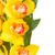 yellow orchid flowers stock photo © neirfy