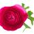 pink ranunculus flowers stock photo © neirfy