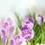 primavera · nieve · violeta · flores · blanco · Pascua - foto stock © neirfy