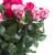 темно · розовый · роз · Розовые · розы · цветы - Сток-фото © neirfy