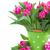 ピンク · バイオレット · チューリップ · ポット · 孤立した · 白 - ストックフォト © neirfy