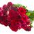 granicy · czerwony · różowy · róż · bukiet · odizolowany - zdjęcia stock © neirfy