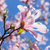 blooming magnolia flower stock photo © neirfy