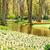 Голландии · весенний · цветок · парка · тюльпаны · закат · свет - Сток-фото © neirfy