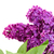 branch of lilac flowers close up stock photo © neirfy