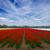 tulipas · colorido · flores · agricultores - foto stock © neirfy