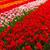 春の花 · オランダ · 公園 · カラフル · 緑の木 · 花 - ストックフォト © neirfy