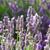 lavanda · cesta · flores - foto stock © neirfy