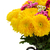 yellow red and pink mum flowers stock photo © neirfy