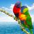 two lorri parrots stock photo © neirfy