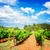 verde · vinha · campo · toranja · agricultura - foto stock © neirfy