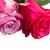 два · розовый · цветы · Розовые · розы · изолированный - Сток-фото © neirfy