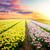 tulipán · mező · virágzik · napfelkelte · tavasz · fesztivál - stock fotó © neirfy