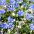 güzel · bahar · çiçekleri · mavi · çiçekler · model - stok fotoğraf © neirfy